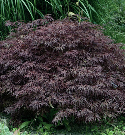Acer Palmatum Dissectum Crimson Queen Japanese Maple From