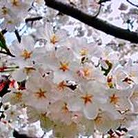 Prunus x yedoensis 'Yoshino Cherry'