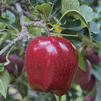 Malus domestica 'Red Delicious'