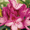 Rhododendron x 'Anah Kruschke'