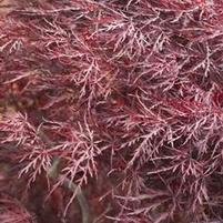 Acer Japanese Maple 'Red Dragon'