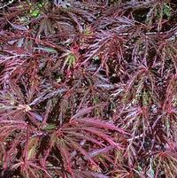 Acer Japanese Maple 'Red Select'