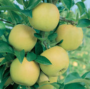 Malus domestica 'Yellow Delicious'