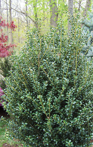 Ilex crenata 'Steeds' - Steeds Holly