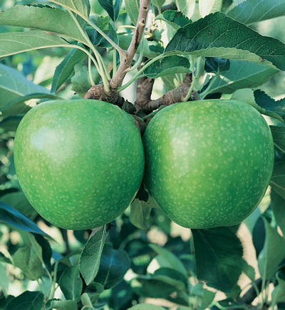Malus domestica 'Granny Smith' - Granny Smith Apple
