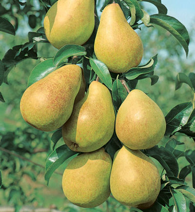 Pyrus communis 'Luscious' - Luscious Pear (Fruit)