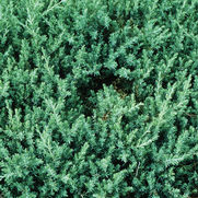 Juniperus conferta 'Blue Pacific'