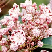 Kalmia latifolia 'Olympic Wedding'