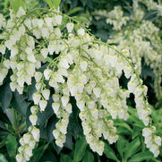 Pieris japonica 'Historyland Supreme'