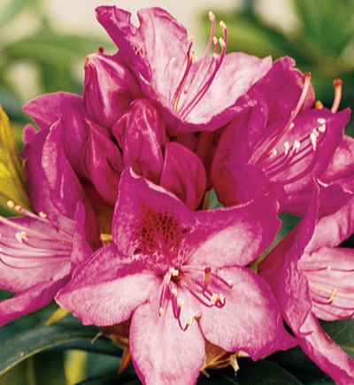 Rhododendron x 'Anah Kruschke' - Anah Kruschke Rhododendron